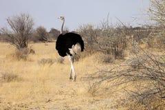 与小鸡的非洲驼鸟,埃托沙国家公园,纳米比亚 库存图片