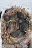 与小鸡的鸟巢 图库摄影