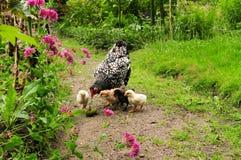 与小鸡的鸡 免版税图库摄影