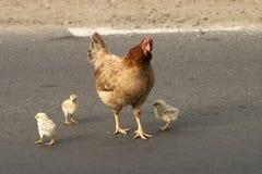 与小鸡的鸡 免版税库存照片