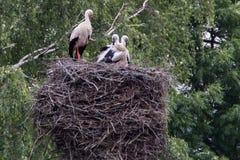 与小鸡的鹳在大巢 免版税库存照片