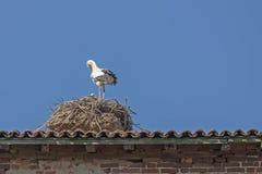 与小鸡的鹳在巢 免版税图库摄影