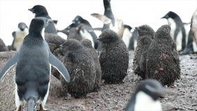 与小鸡的Adelie企鹅 影视素材