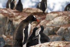 与小鸡的Gentoo企鹅在南极洲 库存图片