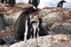 与小鸡的Gentoo企鹅在南极洲 库存照片