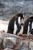 与小鸡的Gentoo企鹅在南极洲 免版税库存图片