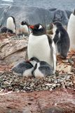 与小鸡的Gentoo企鹅在南极洲 免版税库存照片