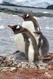 与小鸡的Gentoo企鹅在小山,在海湾前面 免版税库存照片