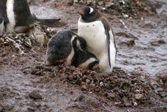 与小鸡的Gentoo企鹅在泥 库存图片