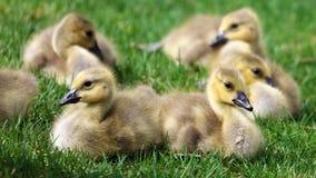 与小鸡,用幼鹅走在绿草的鹅的加拿大鹅在密执安在春天期间 免版税库存照片