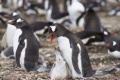 与小鸡-福克兰群岛的Gentoo企鹅 免版税图库摄影
