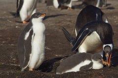 与小鸡-福克兰群岛的Gentoo企鹅 免版税库存图片