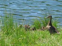 与小鸭子的野鸭鸭子在湖海岸 免版税库存图片
