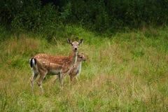 与小鹿的母鹿 图库摄影