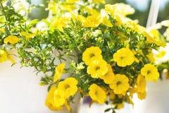 与小黄色花的露台杂种喇叭花在一个暂停的罐 库存图片