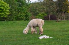 与小婴孩的羊魄家庭在绿草吃草由la 免版税图库摄影