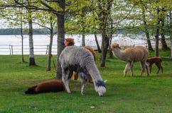 与小婴孩的羊魄家庭在绿草吃草由la 图库摄影