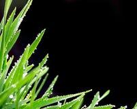 与小滴的新鲜的绿草在黑色后面的雨以后 免版税图库摄影
