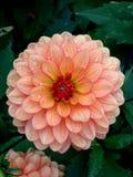 与小滴的桃红色大丽花 免版税图库摄影