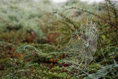 与小滴的蜘蛛网在灌木在秋天 库存照片