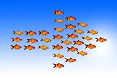 与小组的领导概念金黄鱼跟随同一个方向与他们的领导 免版税库存图片