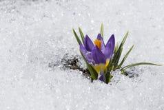 与小滴的紫色番红花在雪 免版税库存照片