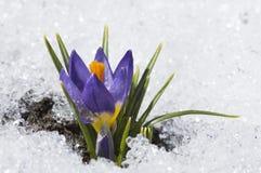 与小滴的紫色番红花 图库摄影