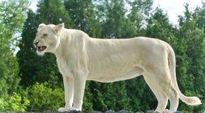 与尖叫一头可怕白色的狮子的被隔绝的图片 图库摄影