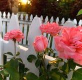 与尖桩篱栅的桃红色玫瑰花蕾 免版税图库摄影