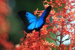 与尾巴的蓝色金属蝴蝶在一朵红色美丽的花 库存图片