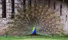 与尾巴传播的孔雀。 图库摄影