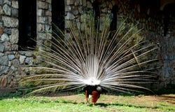 与尾巴传播,看法的孔雀从后面。 免版税库存照片