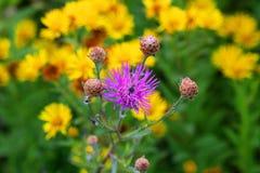 与居民的紫色草甸花在它以黄色花为背景 库存图片