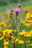 与居民的紫色草甸花在它以黄色花为背景 免版税图库摄影