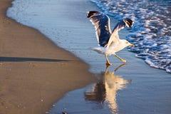 与展开的翼的海鸥 库存照片