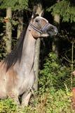 与展示三角背心的好的阿拉伯母马 免版税库存图片