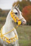 与展示三角背心的美丽的白色阿拉伯公马 库存照片