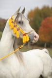 与展示三角背心的美丽的白色阿拉伯公马 库存图片