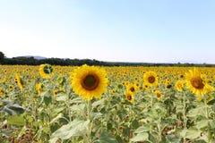 与山和浅兰的天空的向日葵领域在泰国的乡区 库存照片