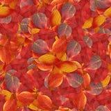 与山楂树明亮的多彩多姿的叶子的无缝的背景  免版税库存图片