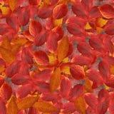 与山楂树明亮的多彩多姿的叶子的无缝的背景  库存图片