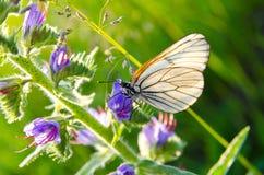 与山楂树黑静脉的白色蝴蝶坐紫色f 库存图片