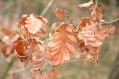 与山毛榉叶子的秋天背景 免版税图库摄影