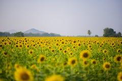 与山的向日葵领域 免版税库存照片
