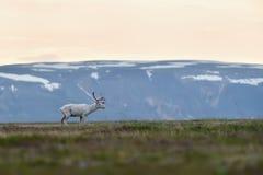 与山的白变种驯鹿在背景中 库存图片