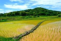 与山的绿色米领域在蓝天下 免版税库存照片