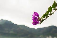 与山的紫色花在背景中 库存照片