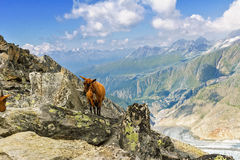 与山羊、阿尔卑斯山和乡下的美好的田园诗高山风景在夏天 库存图片
