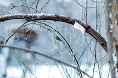 与山雀的冬天树在分支 免版税库存照片