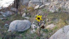 与岩石围拢的飞行的死的向日葵 免版税库存图片